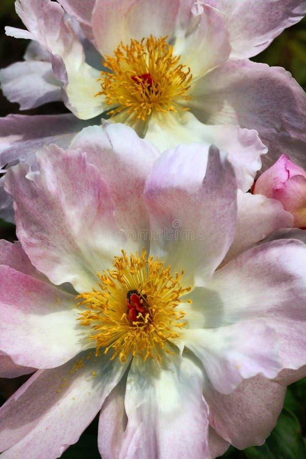 Flores del Peony imagen de archivo