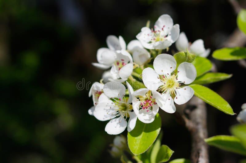 Flores del peral fotografía de archivo