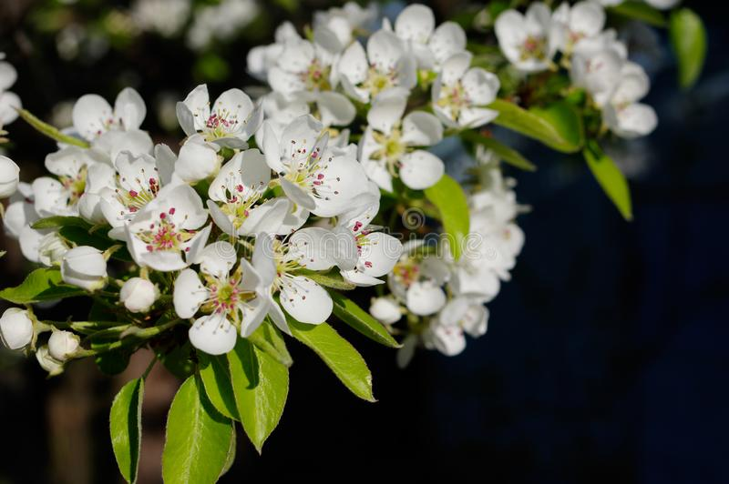 Flores del peral en el jardín de la huerta de la primavera fotos de archivo