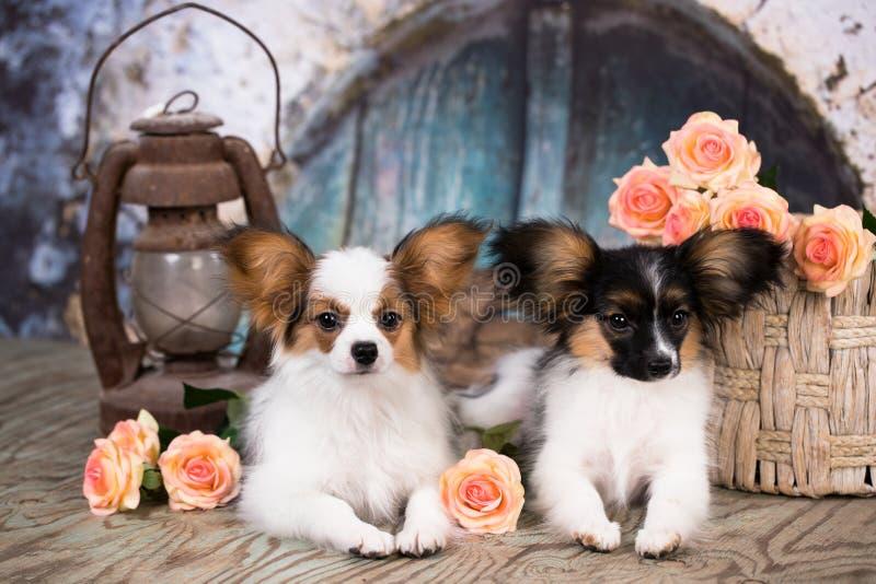 Flores del perrito y de la rosa de Papillon fotografía de archivo