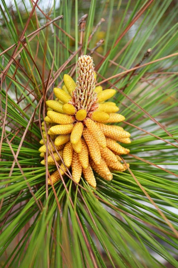 Flores del pino foto de archivo
