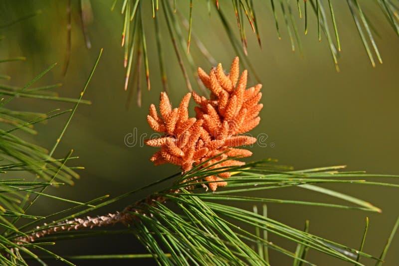Flores del pino imagenes de archivo