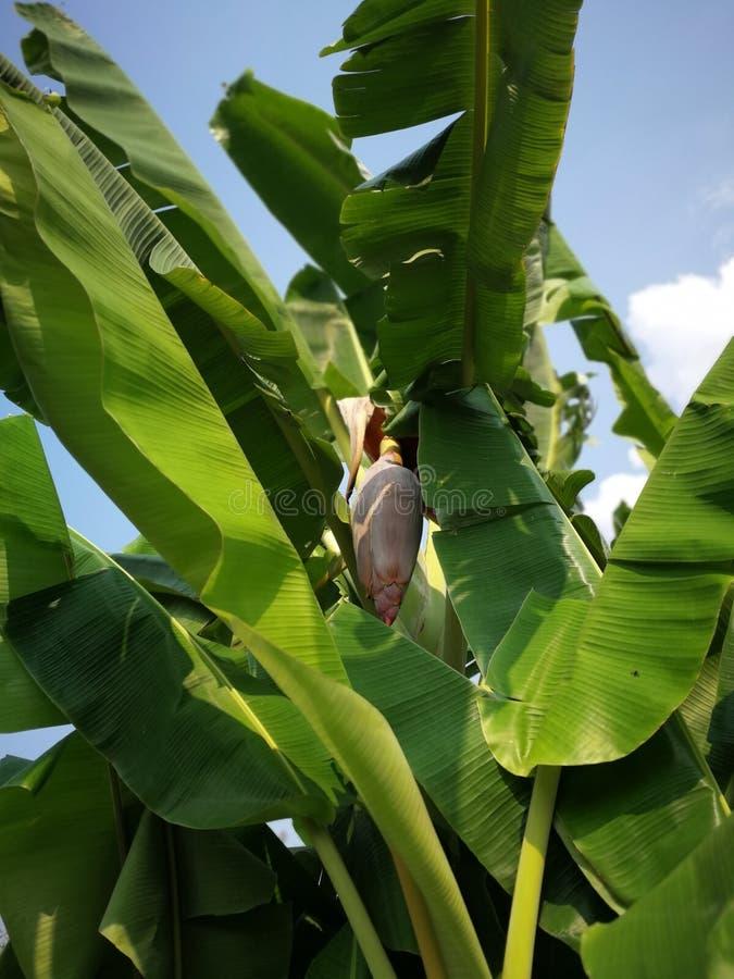 Flores del plátano imagen de archivo libre de regalías