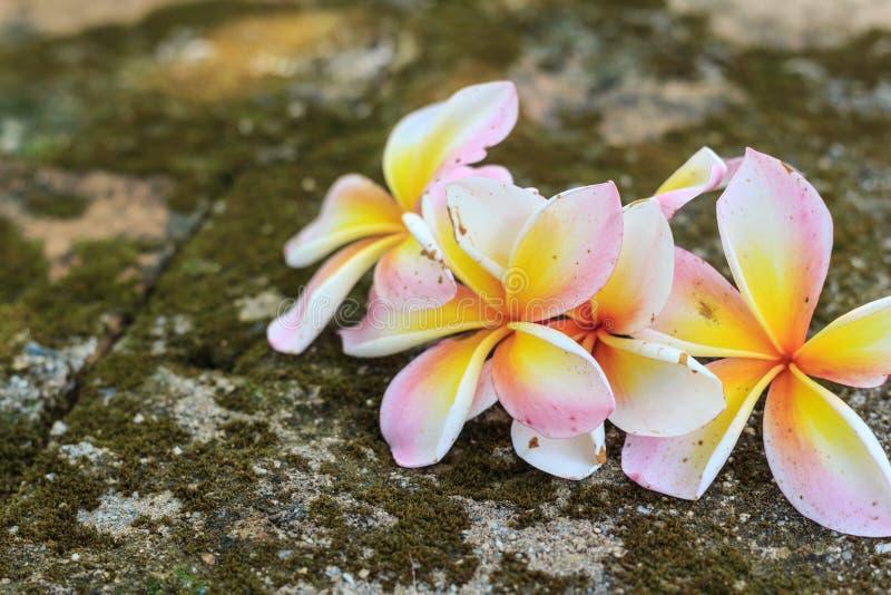 Flores del Plumeria, blanco hermoso foto de archivo libre de regalías