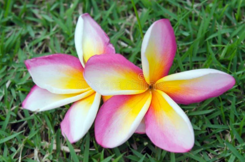 Flores del Plumeria en la hierba y el x28; Otros nombres son frangipani, Apocy foto de archivo libre de regalías