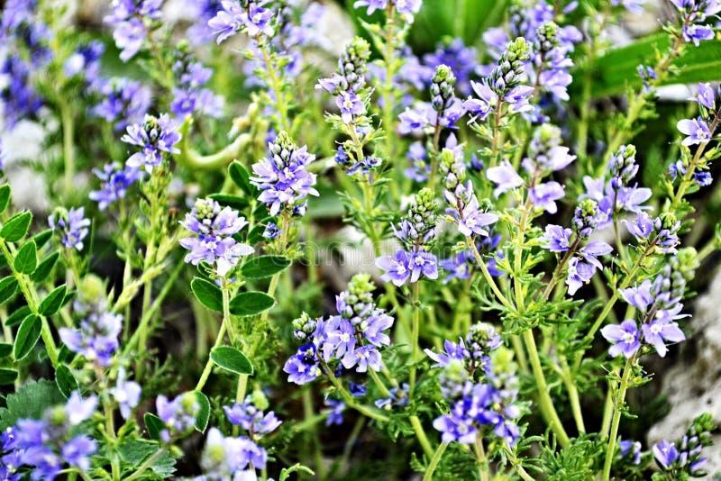 Flores del prado del campo de la púrpura, del verano, de la primavera, de la naturaleza, del paisaje o de las salvapantallas para foto de archivo