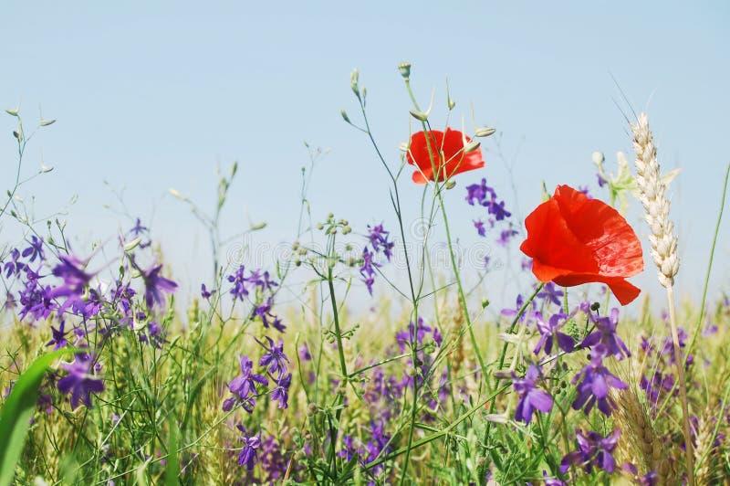 Flores del prado del verano fotografía de archivo libre de regalías