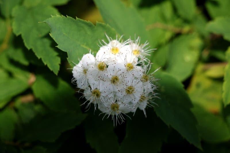 Flores del primer blanco de los rododendros imágenes de archivo libres de regalías