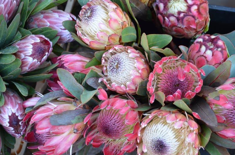 Flores del Protea en el mercado de un granjero fotografía de archivo
