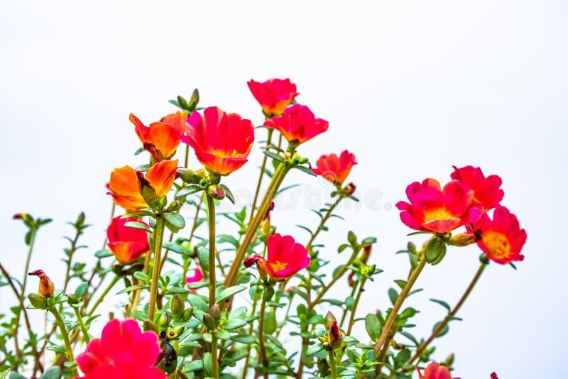 flores del purslane común fotos de archivo