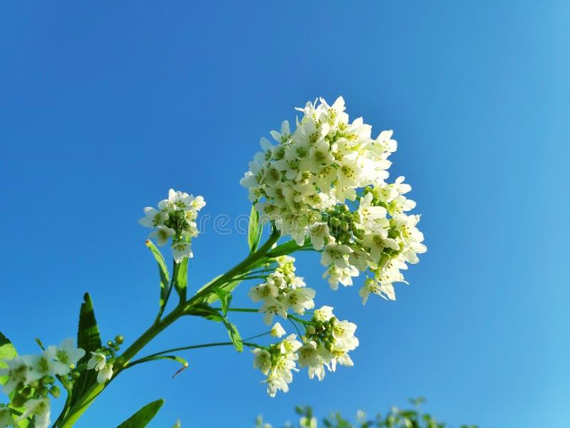 Flores del rábano picante del jardín, puesta del sol imagenes de archivo