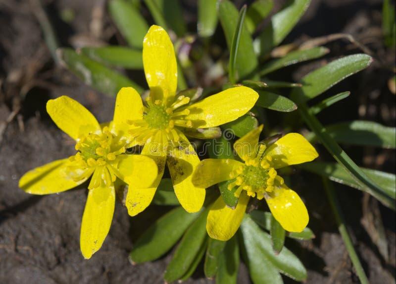 Flores del ranúnculo de Utah foto de archivo libre de regalías