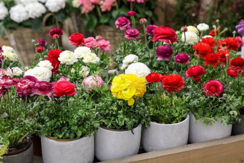 Flores del ranúnculo o asiaticus persas coloridas del ranúnculo en conserva en venta en la tienda del jardín imagen de archivo