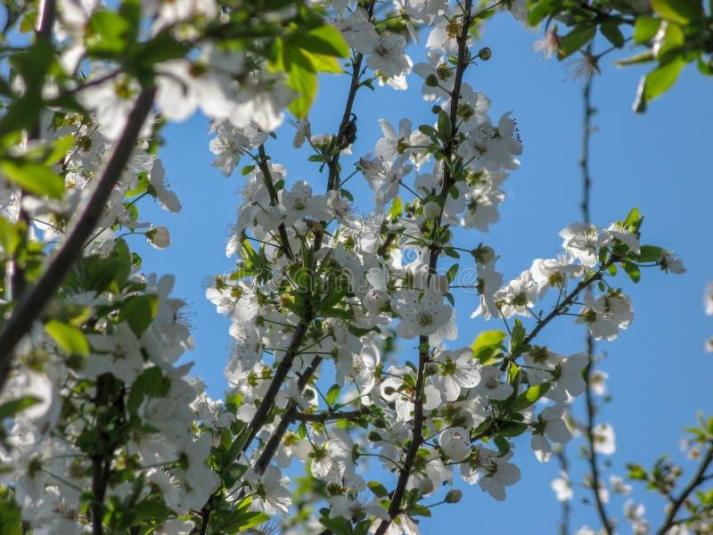 Flores del ?rbol de ciruelo con el fondo del cielo azul imágenes de archivo libres de regalías