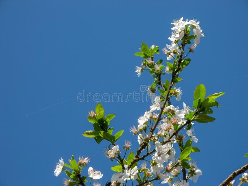 Flores del ?rbol de ciruelo con el fondo del cielo azul foto de archivo