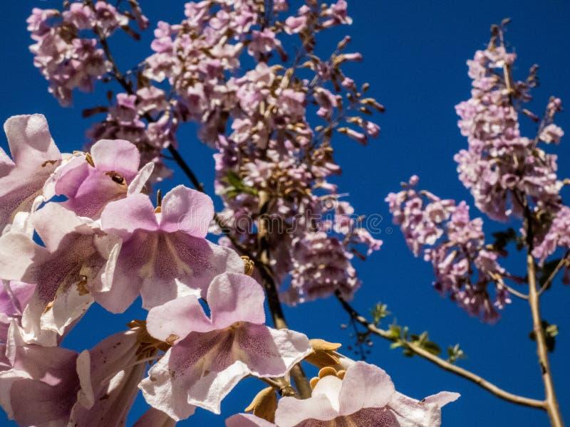 Flores del ?rbol del Jacaranda en Espa?a imagenes de archivo