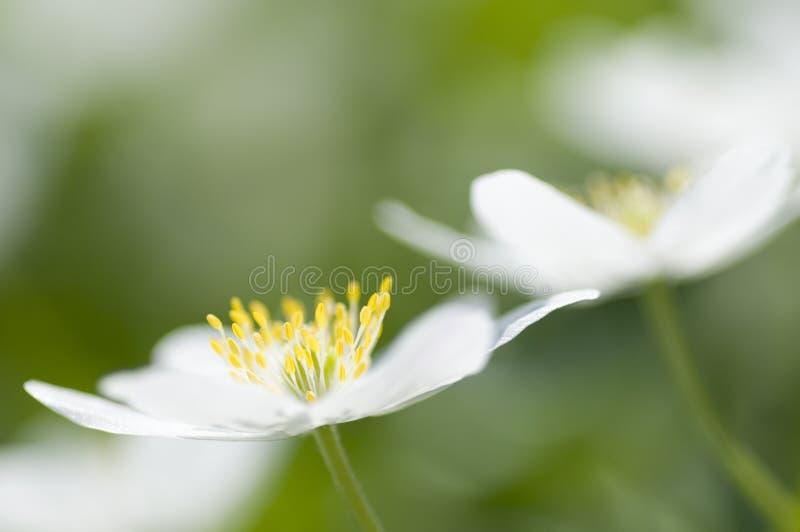 Flores del resorte de la anémona imágenes de archivo libres de regalías