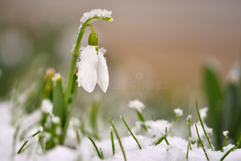 Flores del resorte de Snowdrops Maravillosamente floreciendo en la hierba en la puesta del sol La flor delicada de Snowdrop es un imagenes de archivo