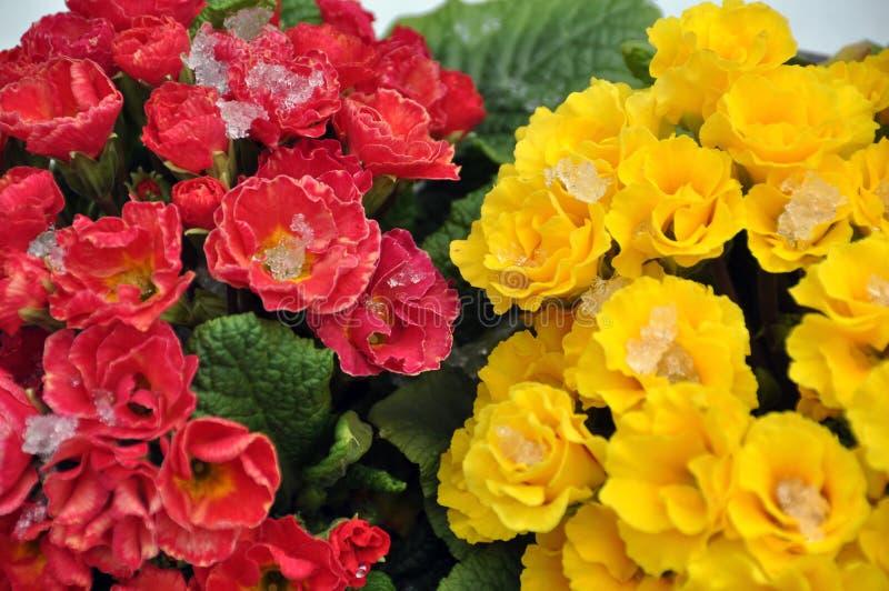 Flores del resorte en nieve imagen de archivo