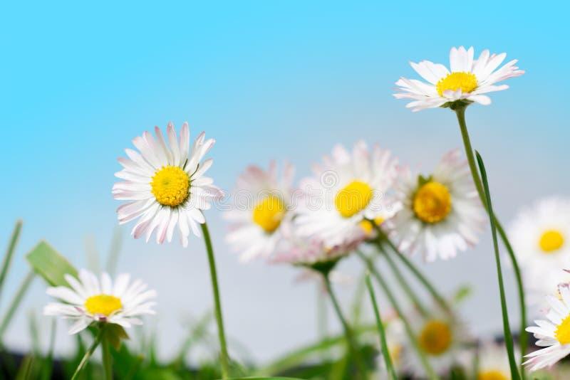 Flores del resorte, margaritas en prado y cielo azul imagenes de archivo