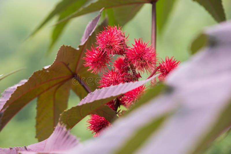 Flores del ricino fotografía de archivo