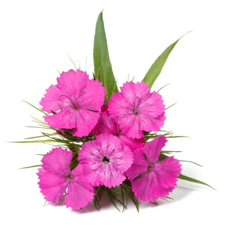 Flores del rosa del barbatus del clavel aisladas en el primer blanco imagenes de archivo
