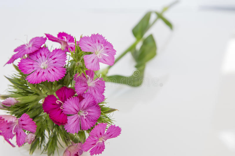 flores del rosa del barbatus del ianthus (Guillermo dulce) aisladas en blanco fotografía de archivo libre de regalías