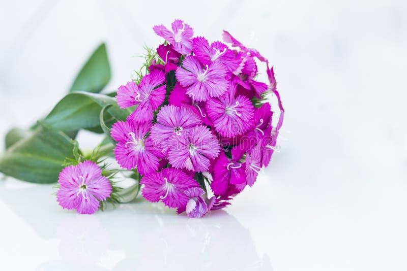 flores del rosa del barbatus del ianthus (Guillermo dulce) aisladas en blanco imágenes de archivo libres de regalías
