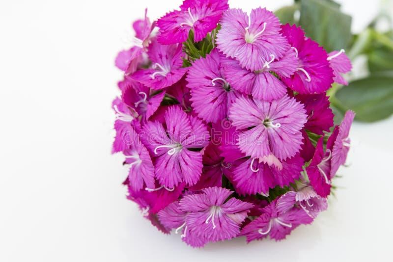 flores del rosa del barbatus del ianthus (Guillermo dulce) aisladas en blanco fotografía de archivo