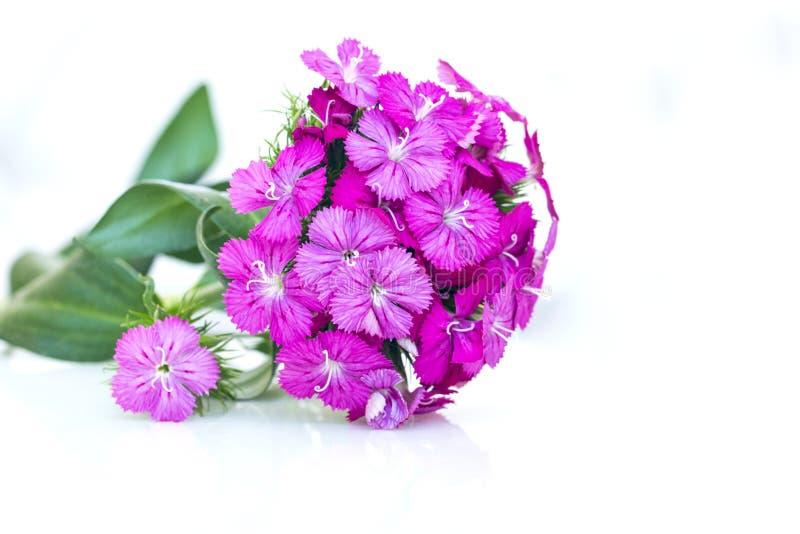 flores del rosa del barbatus del ianthus (Guillermo dulce) aisladas en blanco foto de archivo