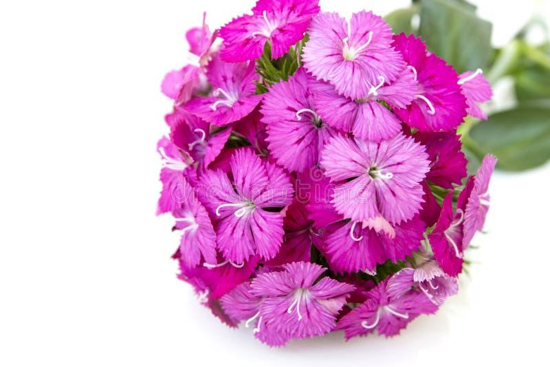 flores del rosa del barbatus del ianthus (Guillermo dulce) aisladas en blanco imagen de archivo