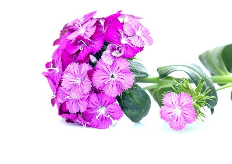 flores del rosa del barbatus del ianthus (Guillermo dulce) aisladas en blanco fotos de archivo