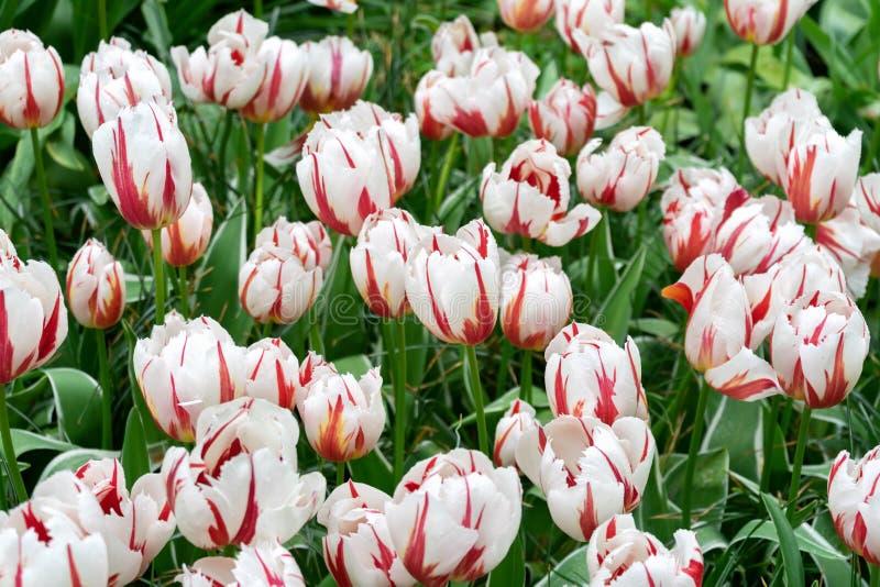 Flores del rosa y blancas del tulipán en el jardín de la primavera, parque fotografía de archivo