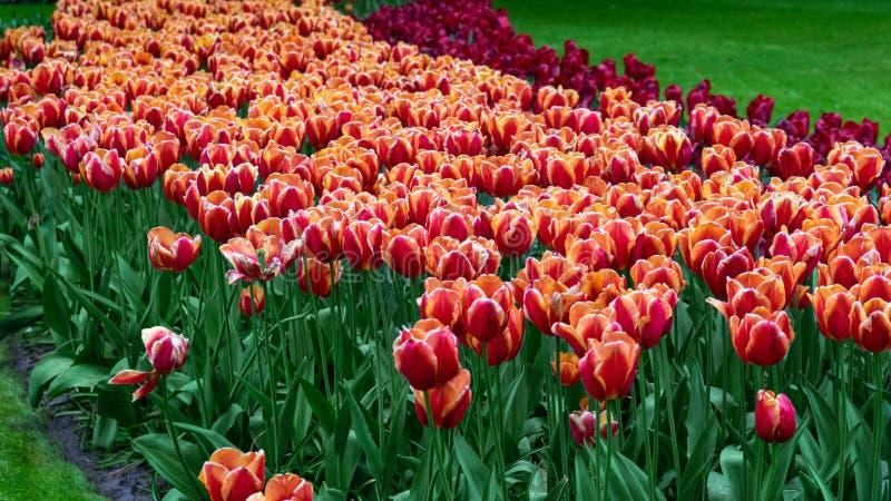Flores del rosa y blancas del tulipán en el jardín de la primavera, parque imagenes de archivo