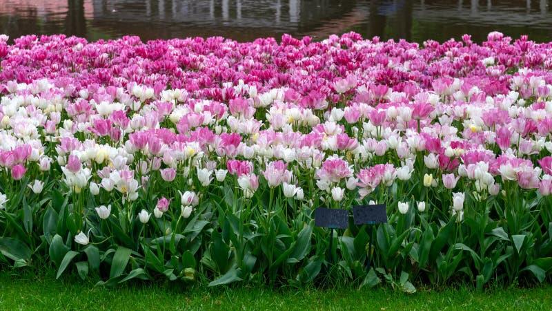 Flores del rosa y blancas del tulipán en el jardín de la primavera, parque fotografía de archivo libre de regalías