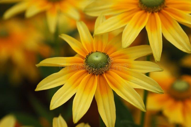 Flores del Rudbeckia imagenes de archivo