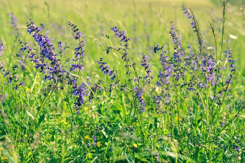 Flores del sabio o del salvia del prado foto de archivo