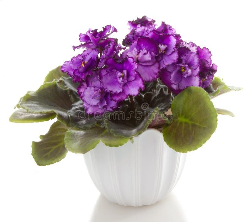 Flores del Saintpaulia fotos de archivo libres de regalías