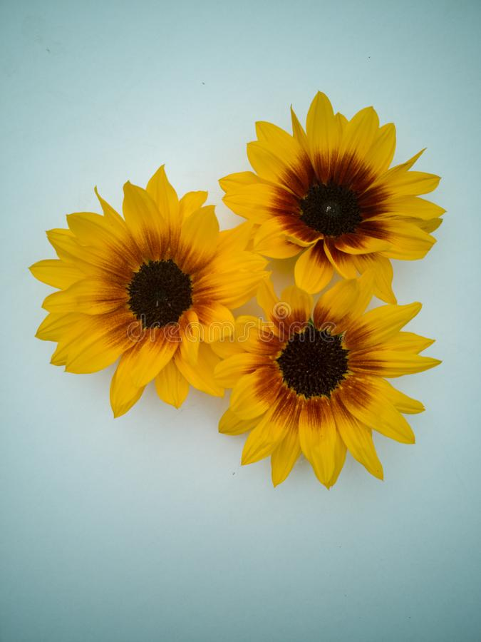 Flores del sol del verano tardío imagen de archivo libre de regalías