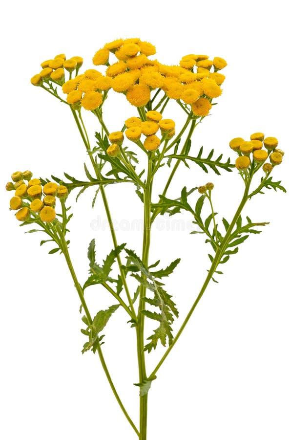 Flores del Tansy (Tanacetum Vulgare) foto de archivo