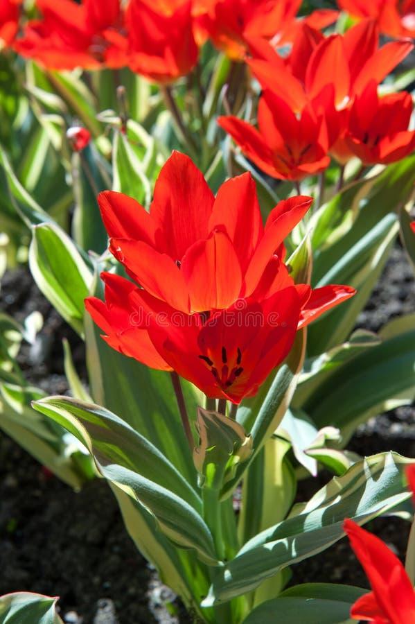 Flores del tarda de los tulipanes del Liliaceae imagen de archivo libre de regalías