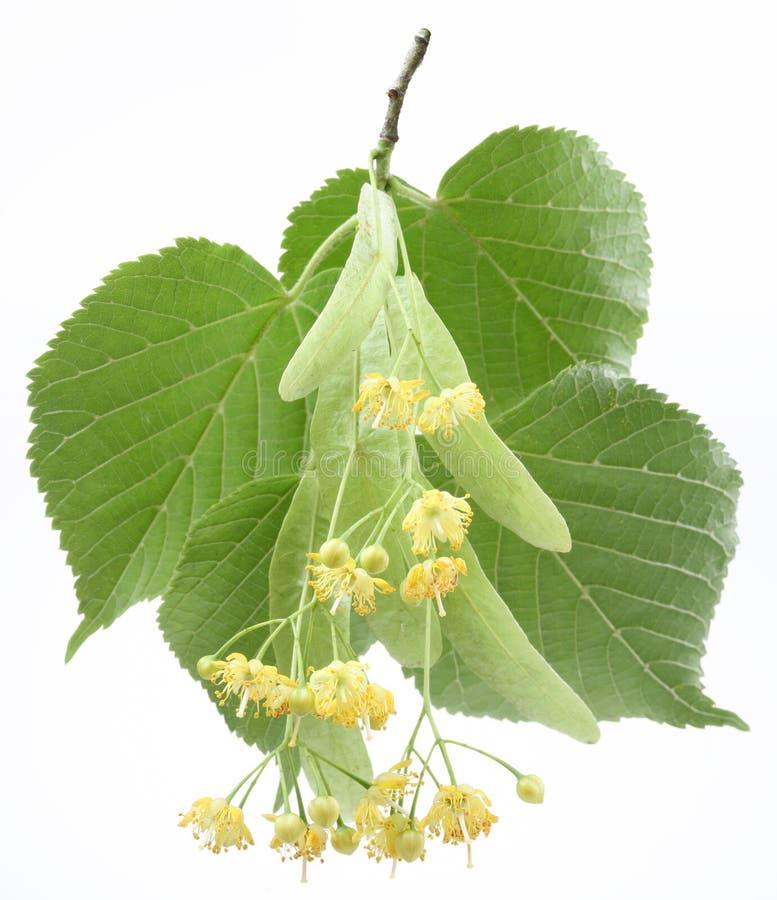 Flores del tilo-árbol foto de archivo libre de regalías