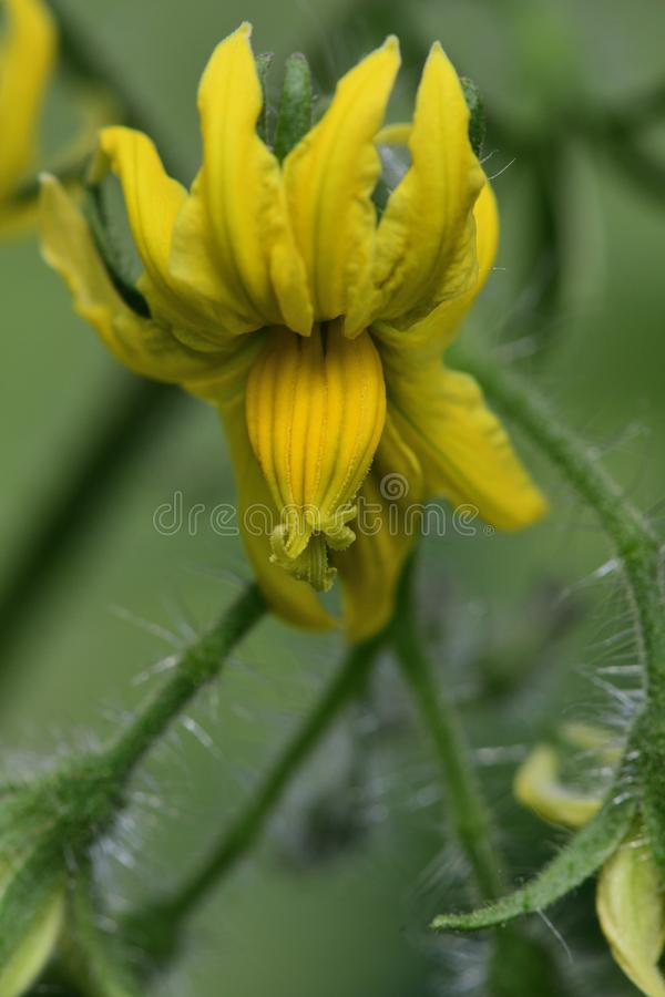 Flores del tomate fotografía de archivo