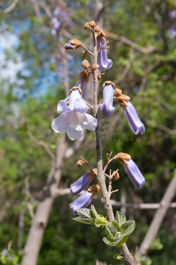Flores del tomentosa del Paulownia imagen de archivo