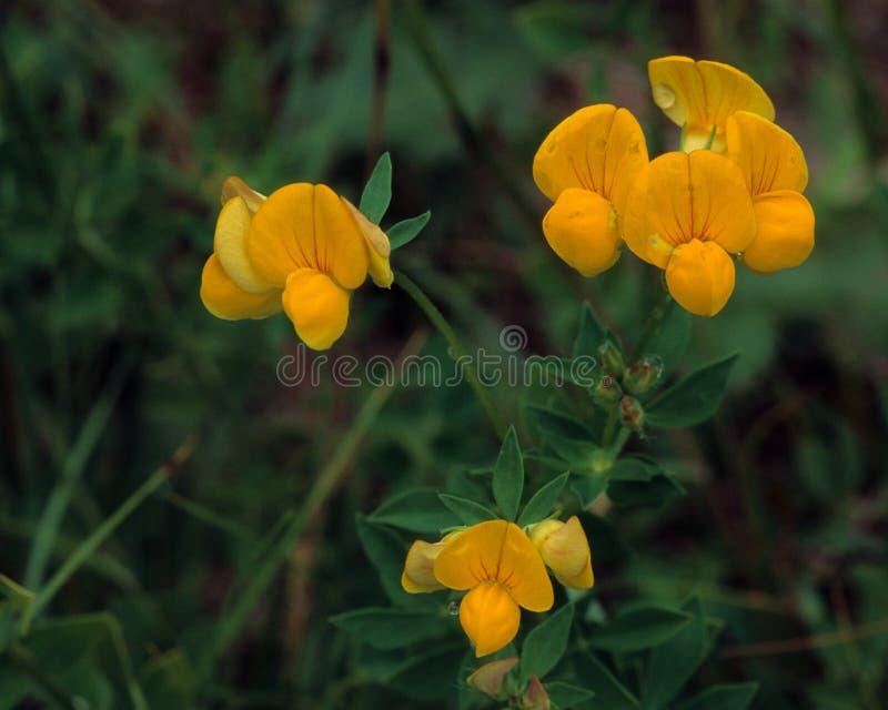 Flores del trébol de serradella foto de archivo libre de regalías