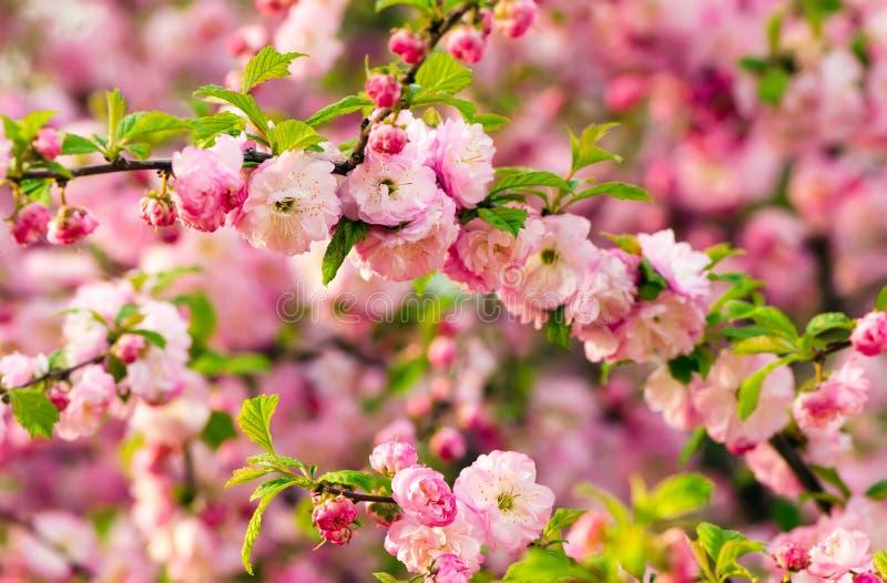 Flores del triloba del Prunus foto de archivo