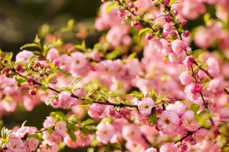 Flores del triloba del Prunus imagen de archivo