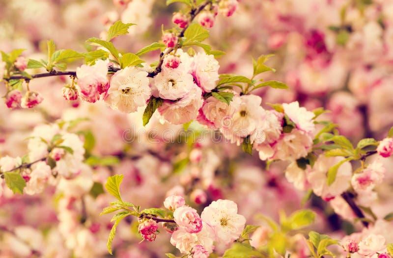 Flores del triloba del Prunus fotos de archivo