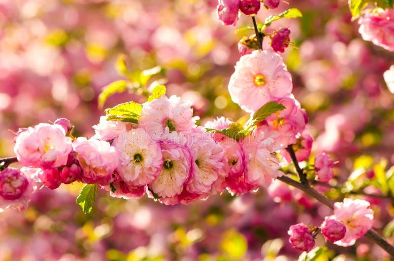Flores del triloba del Prunus imagen de archivo libre de regalías