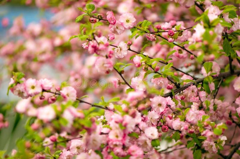 Flores del triloba del Prunus imagenes de archivo